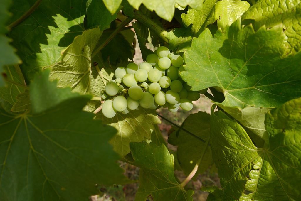 Winery visit to the Vidular Bodega in the Costa de Cantabria
