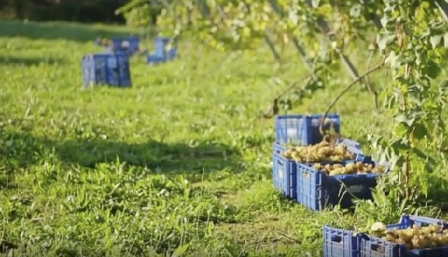 winery harvest vendimia Cantabria Cantabricus